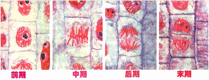 温度升高可使洋葱根尖细胞的有丝分裂的速率加快